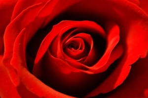 cropped-roses-photo1.jpg